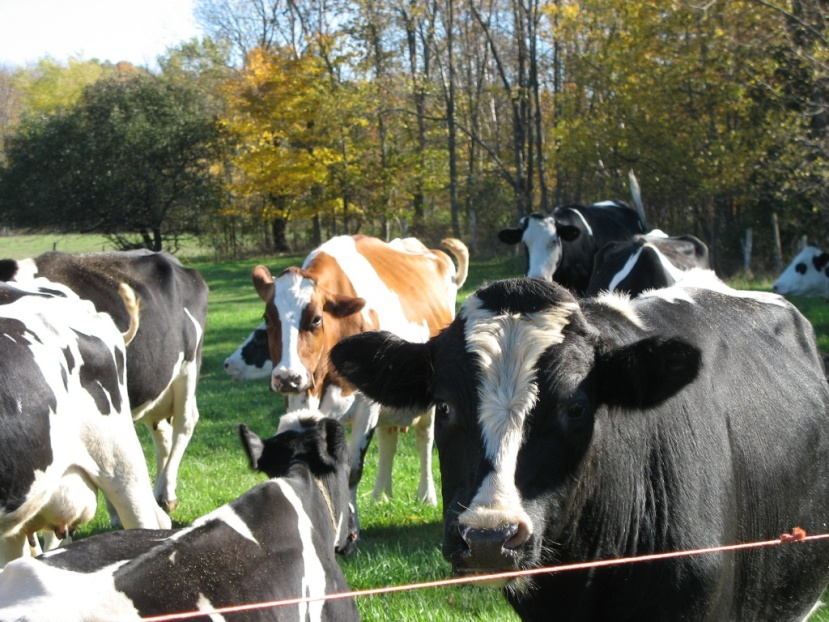 Wisconsin Cows…..