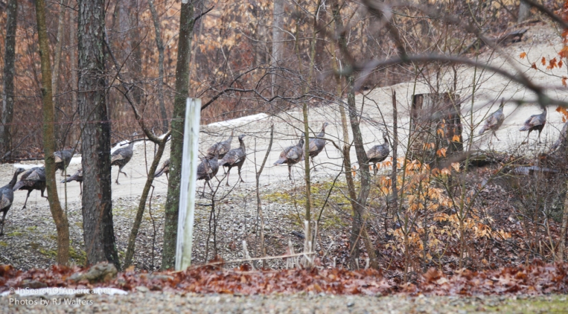 A herd ofTurkeys…