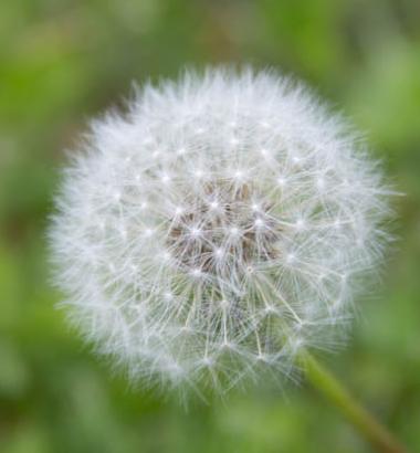Dandelion-crop