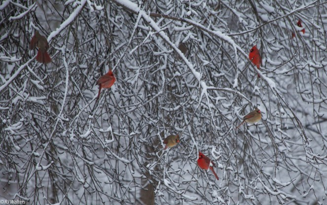 Image result for winter cardinals in apple tree