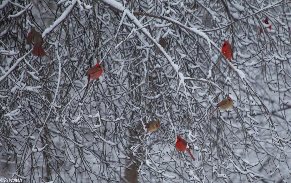 Winter Cardinals-2.jpg