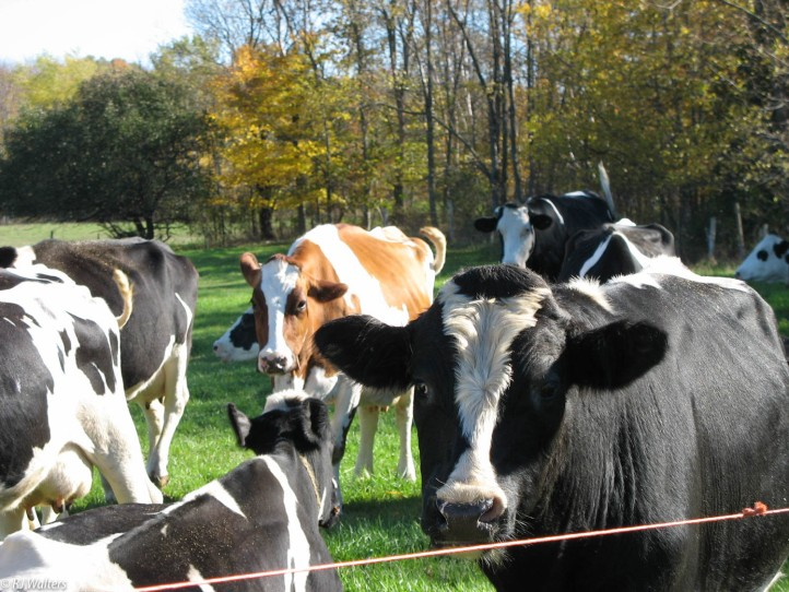 wisconsin-cows