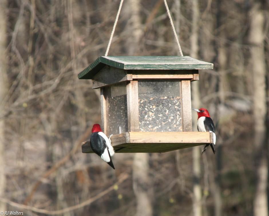 5*Woodpeckers.jpg