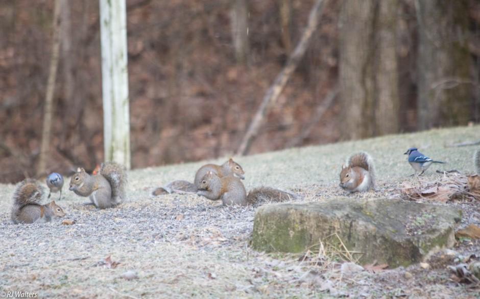 Feeder Squirrels-3.jpg